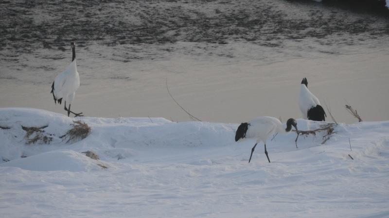 越冬中の鶴