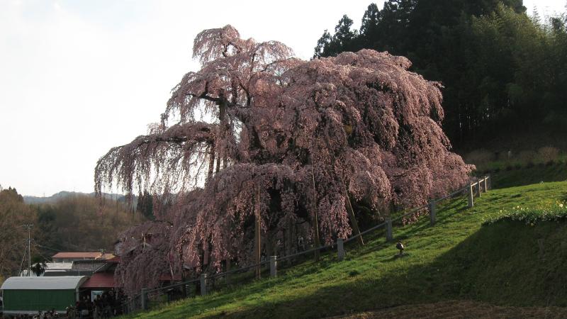三春1本桜