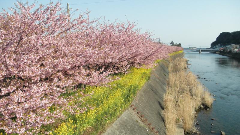 存続危機の河津川沿い河津桜