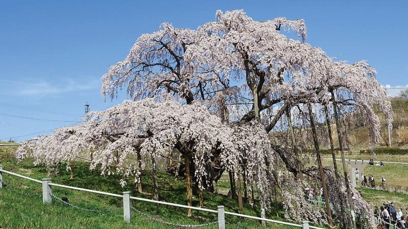 三春滝桜左側