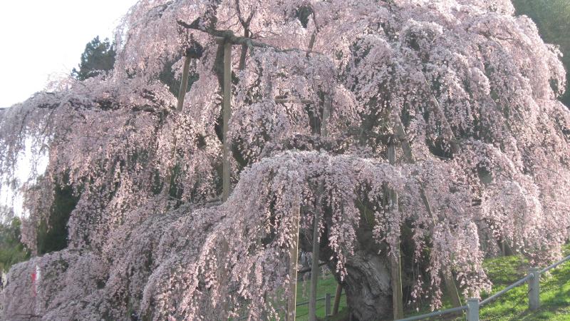 桜の葉がぎっしり詰まった三春滝桜
