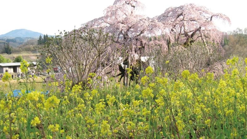 菜の花と三春滝桜