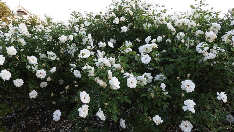 ひたちなか海浜公園白いバラ