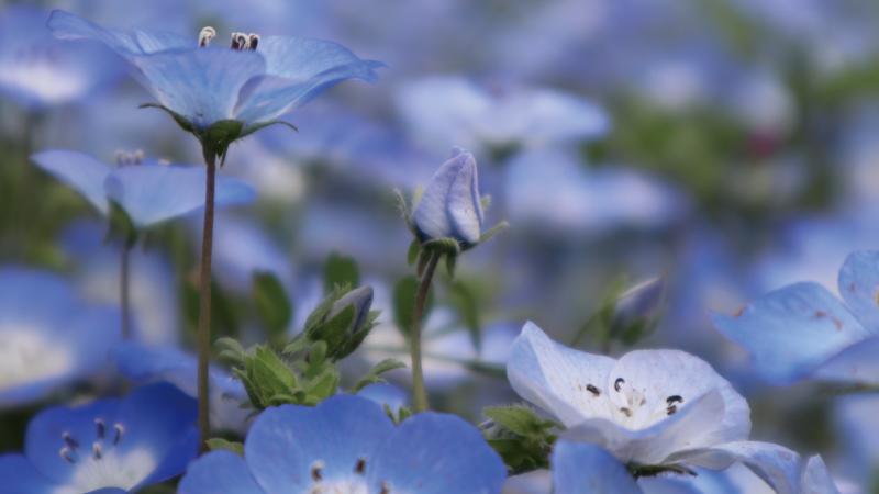 ネモフィラ花とつぼみ