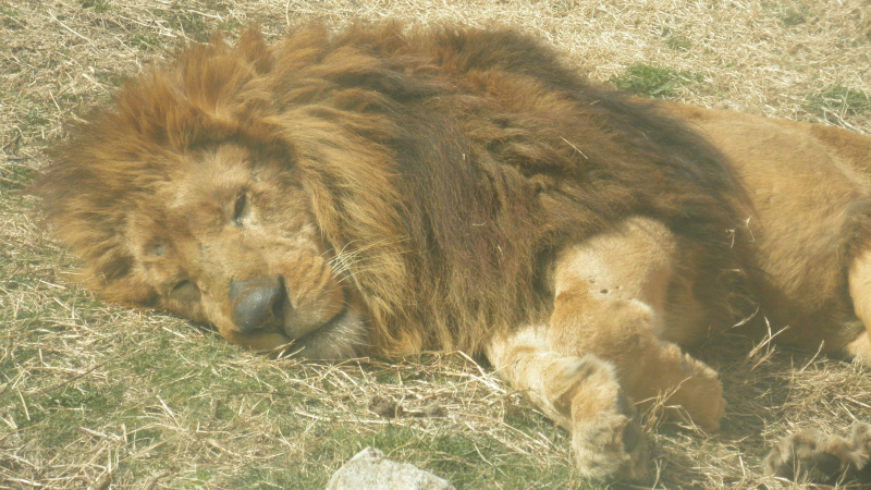 伊豆シャボテン公園ライオン