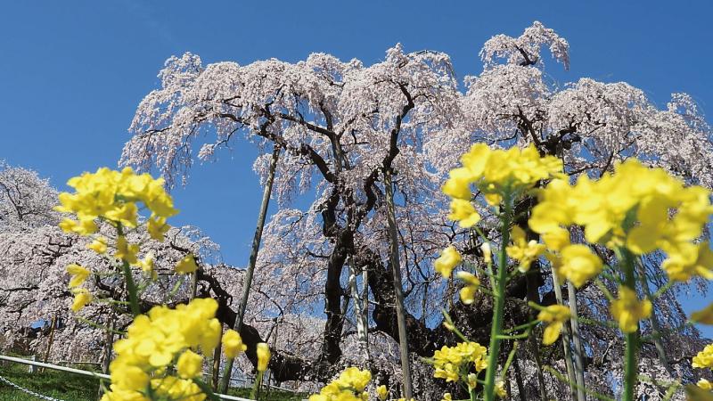 三春滝桜と菜の花と青空