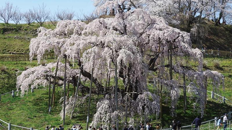 三春滝桜正面