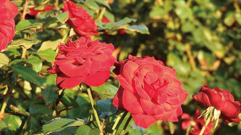 ひたちなか海浜公園赤いバラ