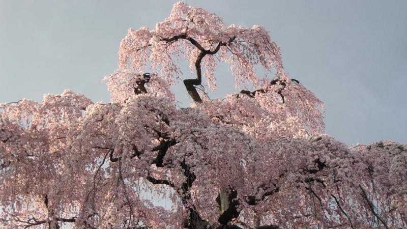 桜の葉がぎっしり詰まった三春滝桜2