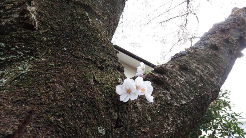 城ヶ崎海岸桜並木道2