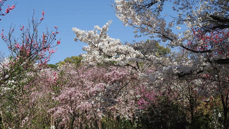 縮景園桜の競演