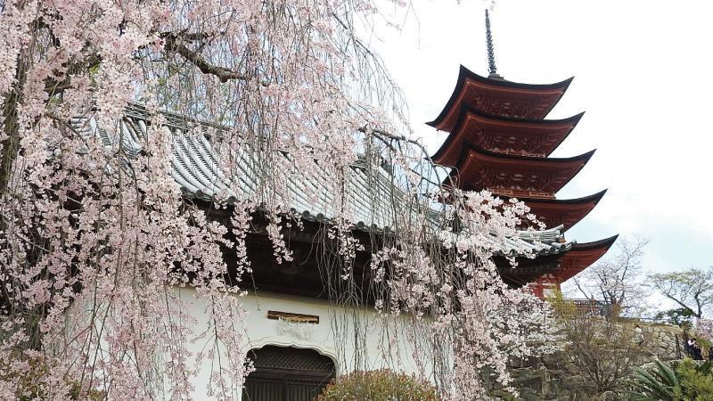宮島五重塔と桜