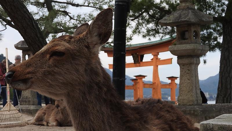 厳島神社大鳥居と鹿