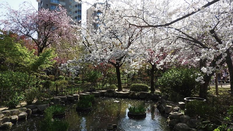縮景園桜名所