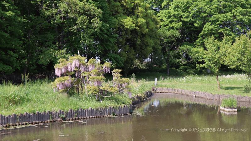 古河公方公園藤の花引き絵