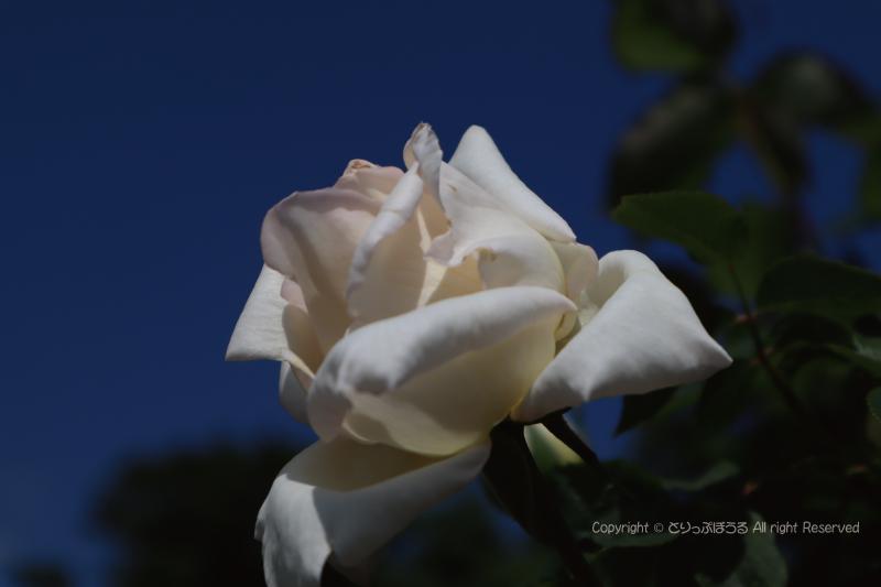 茨城県フラワーパーク白いバラ