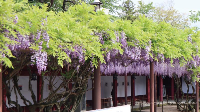 笠間稲荷神社拝殿と藤の花2