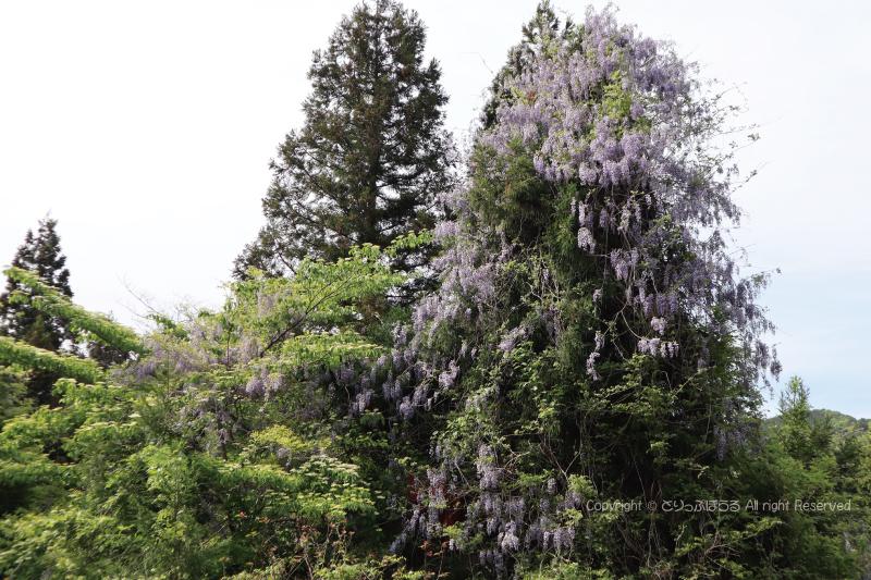 茨城県ビーフラインの天然藤