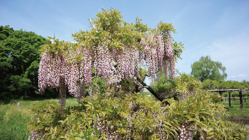 古河公方公園藤の花