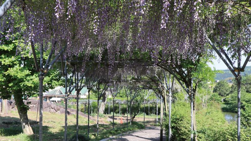 茨城県フラワーパーク藤棚
