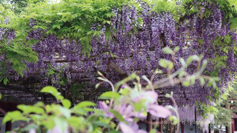 笠間稲荷神社拝殿と藤の花5