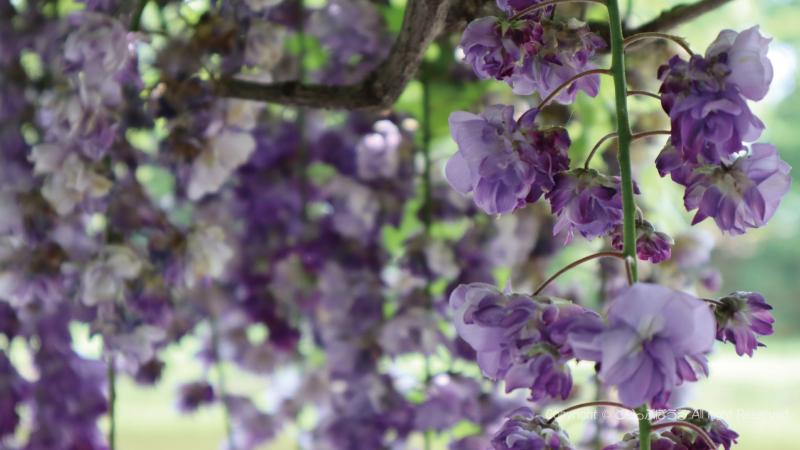 古河公方公園藤の花アップ