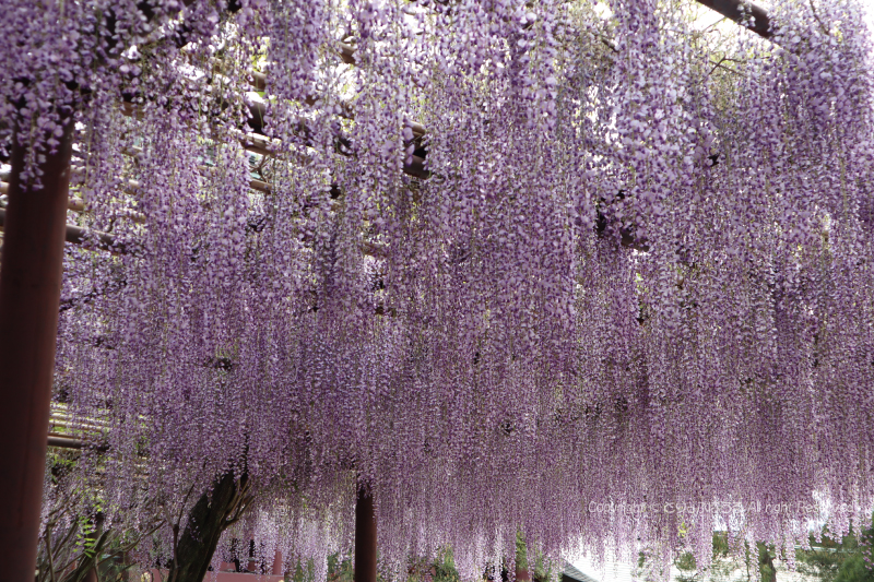 笠間稲荷神社拝殿と藤の花4