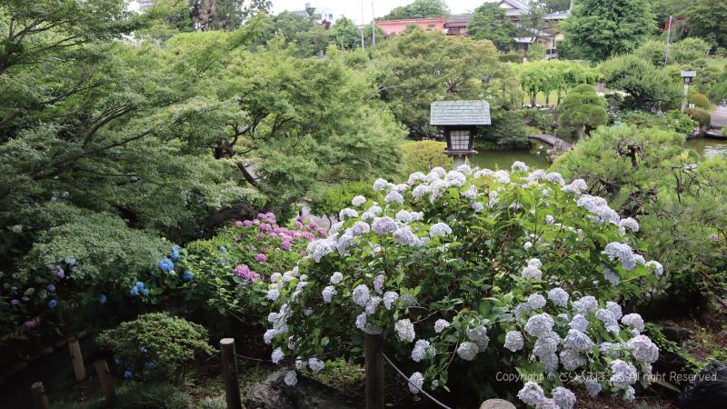 保和苑日本庭園とあじさい