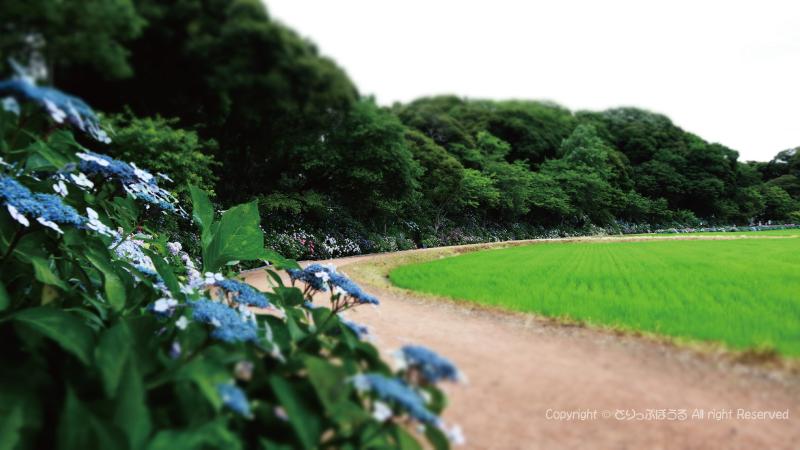 二本松寺あじさいの杜と田園