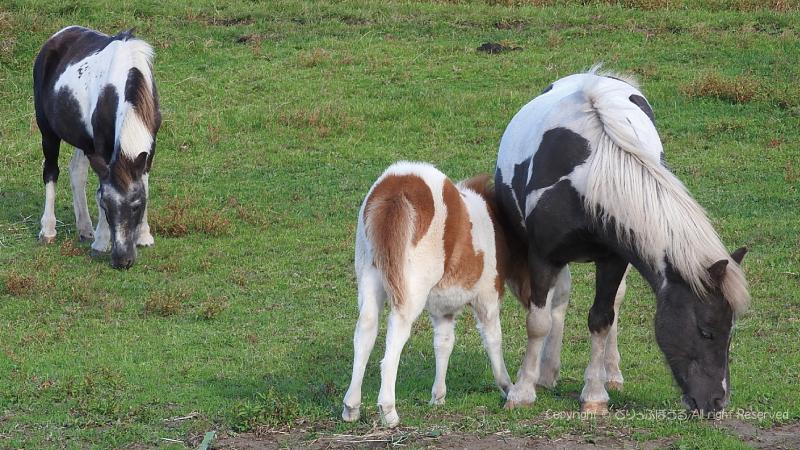 日光大笹牧場の馬