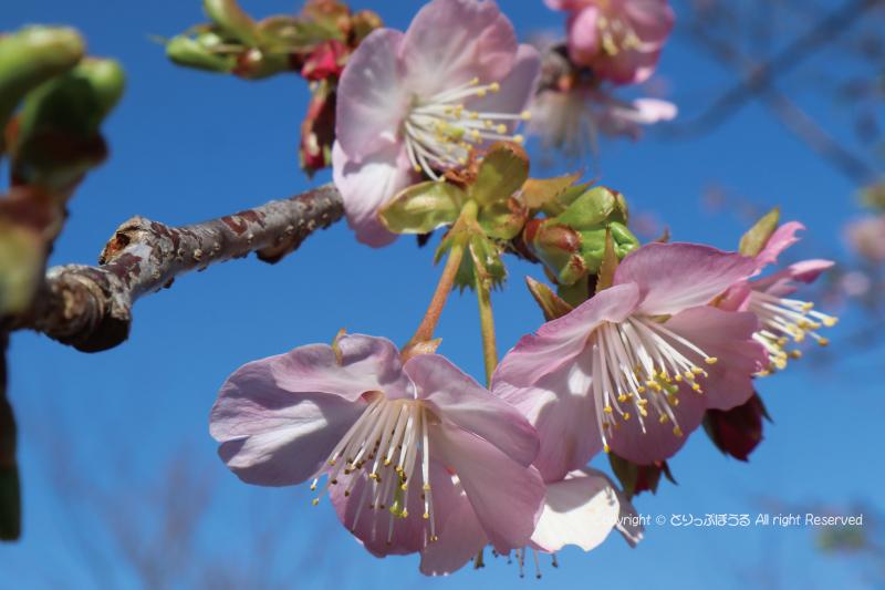 日本平夢テラス桜
