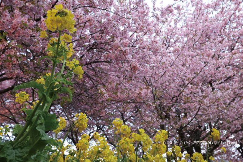 まつだ桜まつり3