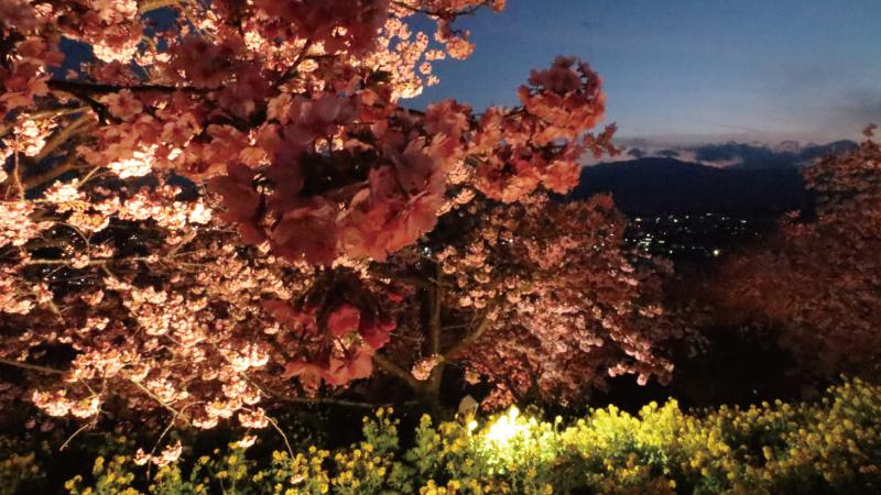 菜の花と河津桜夕闇