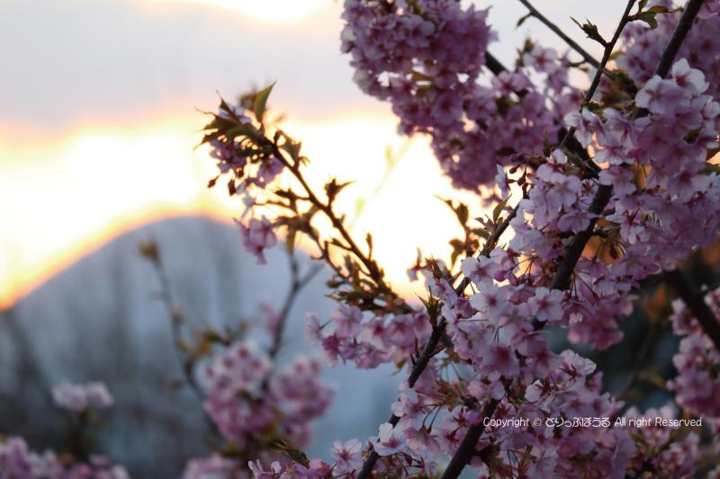 夕暮れのまつだ桜まつり会場
