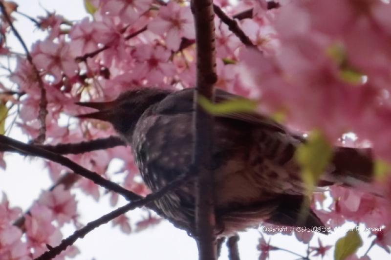西平畑公園の桜と野鳥