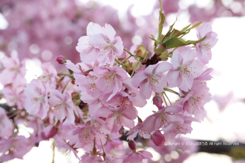 まつだ桜まつり桜アップ