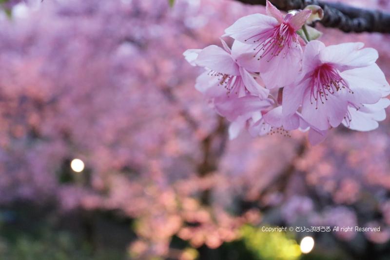 まつだ桜まつり会場ライトアップと桜のズーム