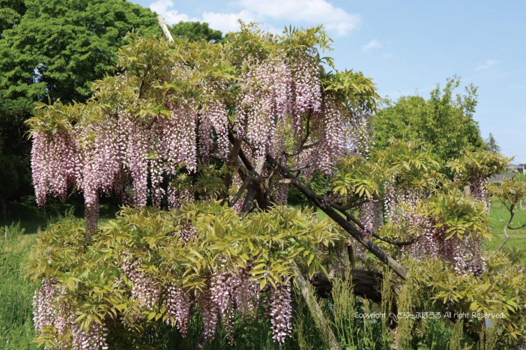 茨城県・古河総合公園の藤の花