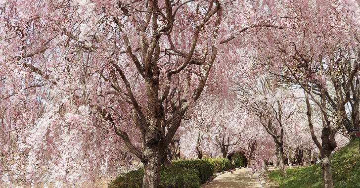 風土記の丘しだれ桜のトンネル