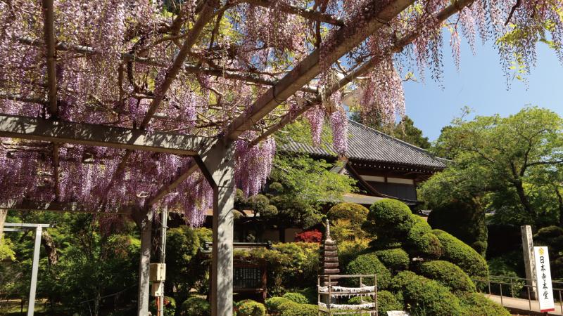 千葉多古町日本寺藤の花