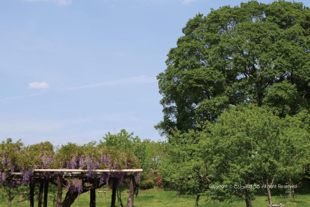 茨城県・古河総合公園の藤棚