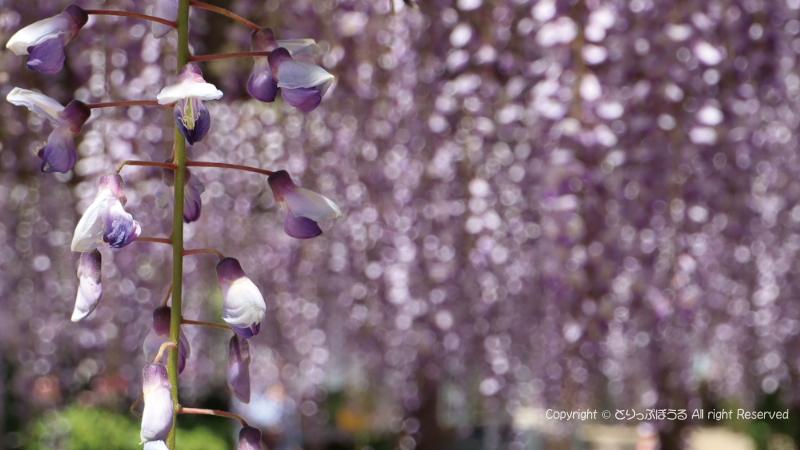 千葉銚子の藤の花