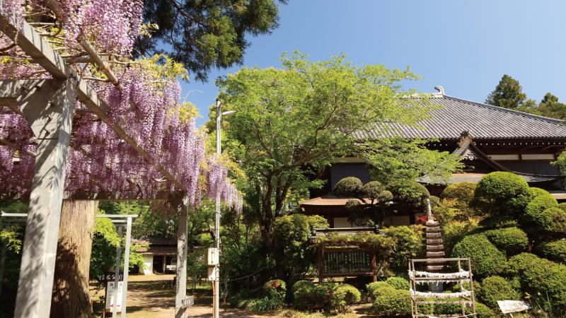千葉多古町日本寺の藤棚