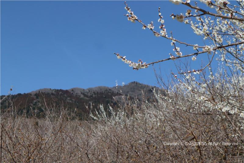 筑波山と梅