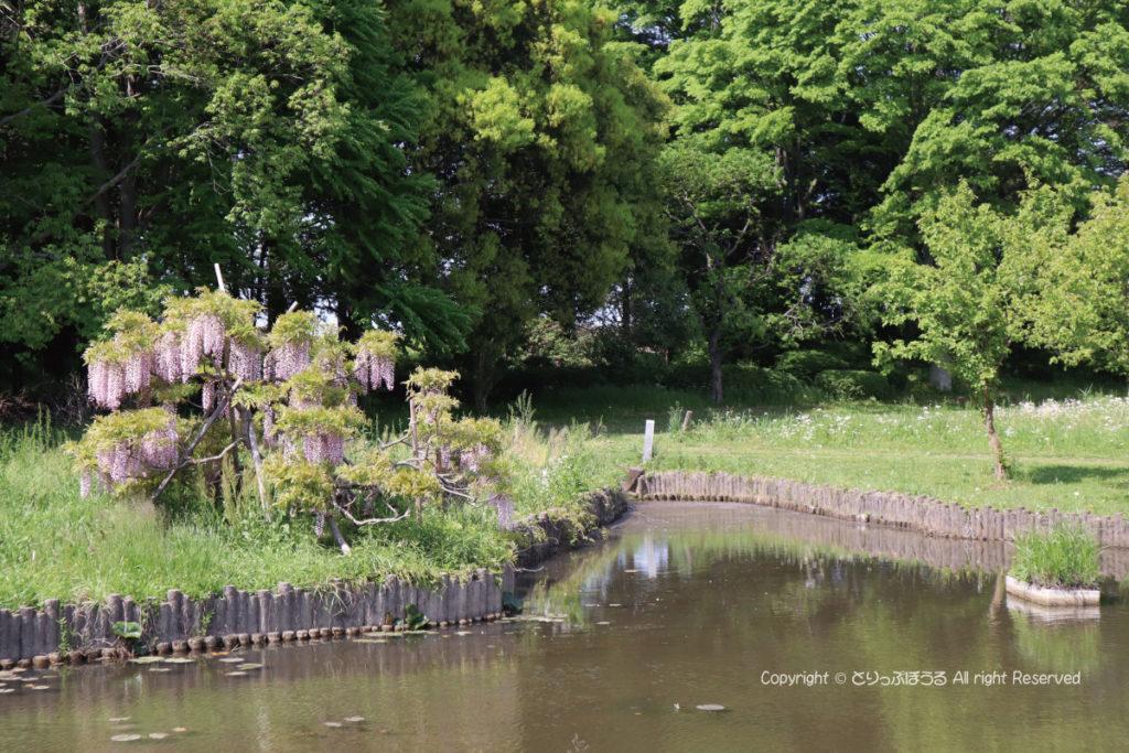 茨城県・古河総合公園の藤の花と池