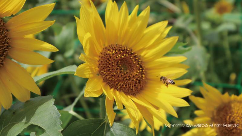 小粒なひまわりとハチ