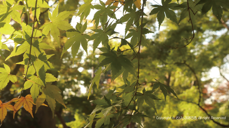 本土寺緑のもみじ