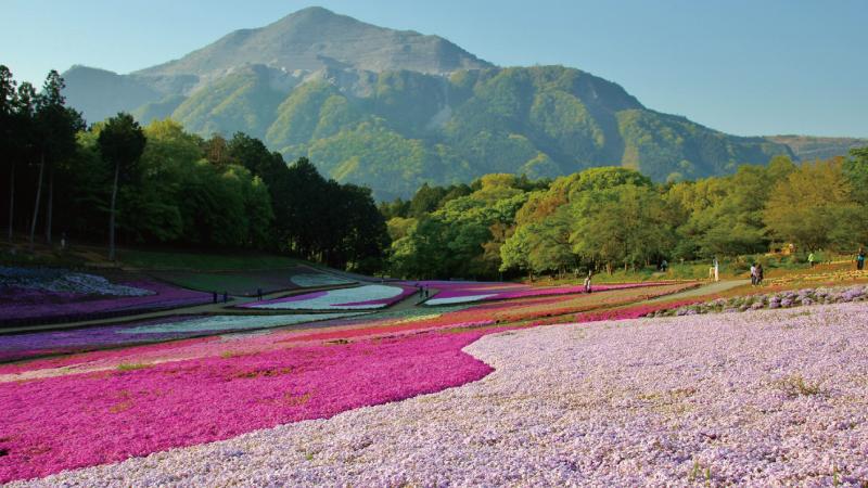 AC秩父羊山公園芝桜の丘