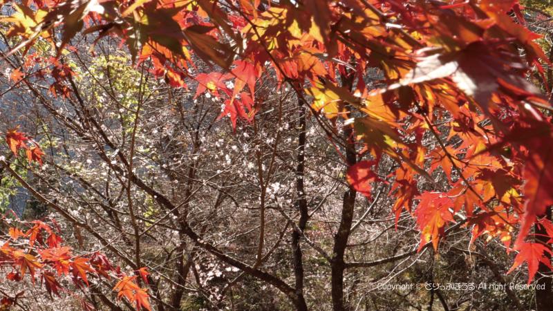 城峯公園冬桜と紅葉