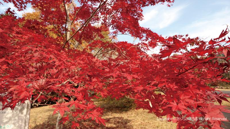 北山公園の白鳥の湖紅葉